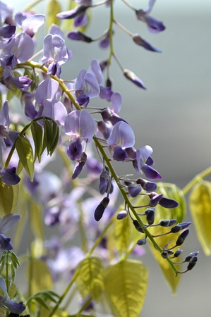 photo of wisteria flowers