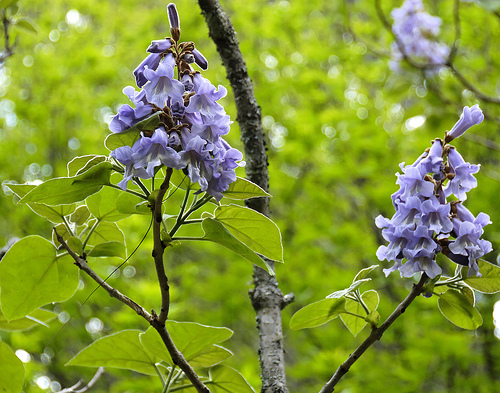 photo of flowering paulownia tree