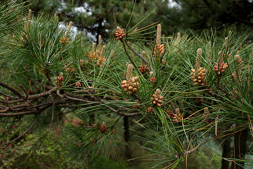 photo of pine flower